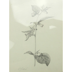 L. Jiřincová - Kresba květiny